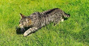 Freigänger Katzen haben ein höheres Risiko einen Katzenschnupfen zu bekommen