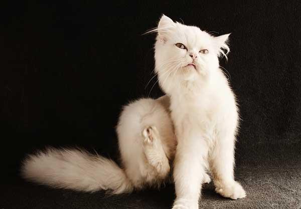 Katzenflöhe vorbeugen und bekämpfen - ist nicht schwer