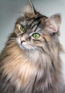 Katzenhaare entfernen durch regelmäßiges Bürsten