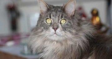 Katzenhaare Entfernen - Katze mit langem Fell